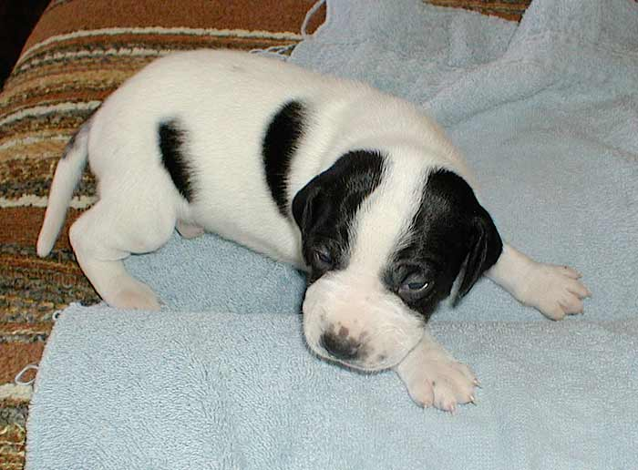 Black English Pointer Puppy black-male-4  SOLD