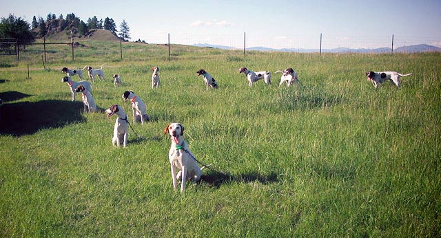 English Pointer Puppies in Training