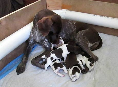 GSP Puppies Available Now