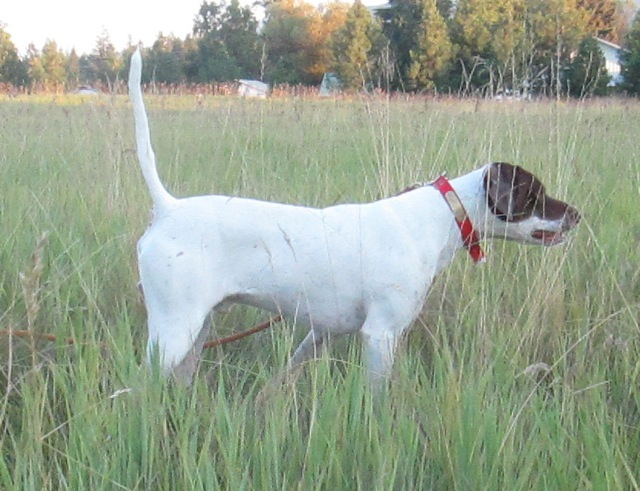 Trained English Pointer