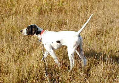 6 Month Old English Pointer Puppy