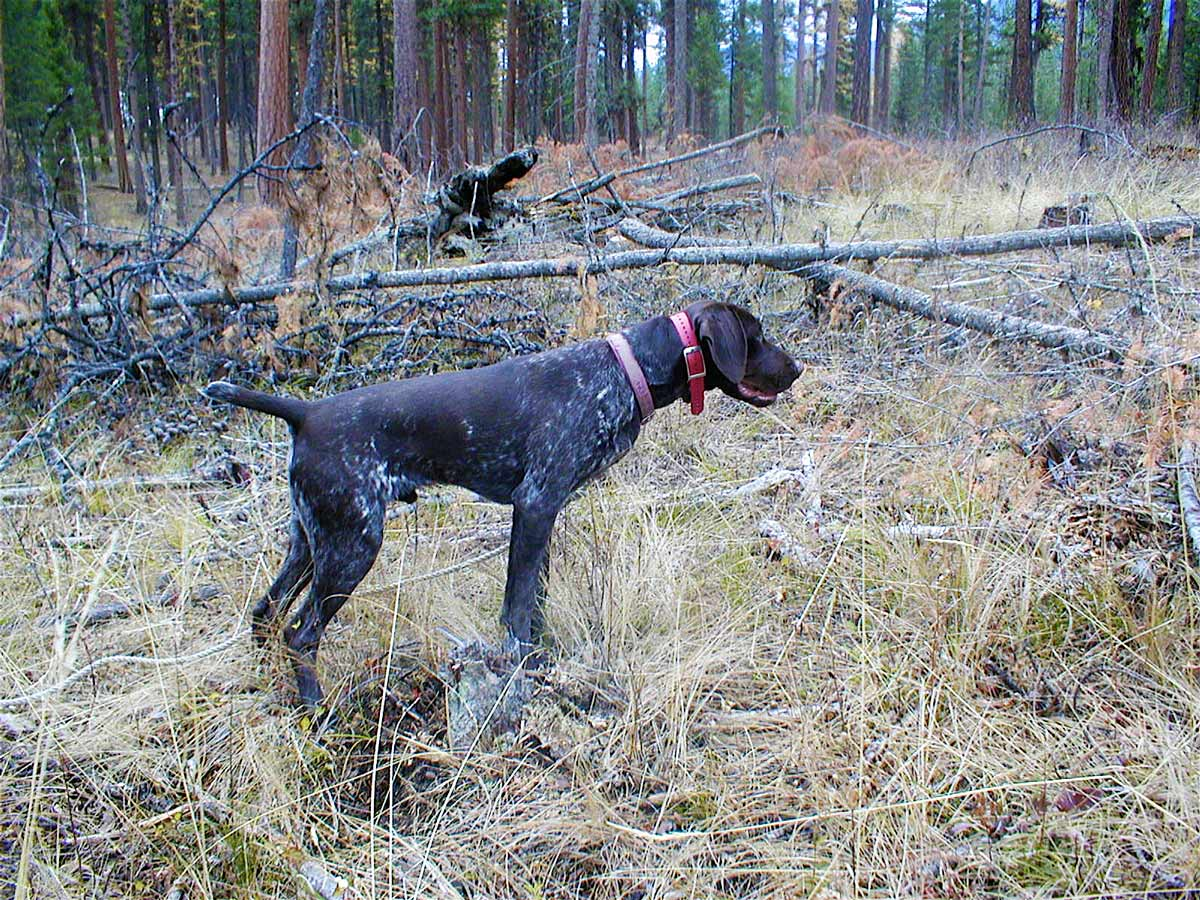 Dogs for Sale – Montana Pointers