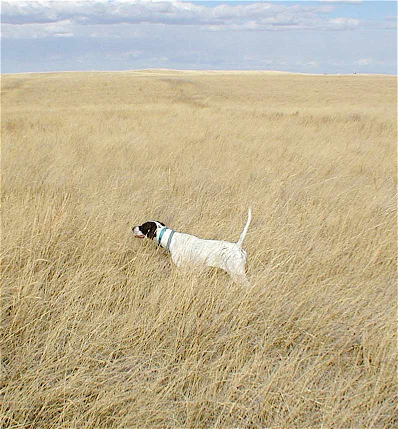 English Pointer Dam