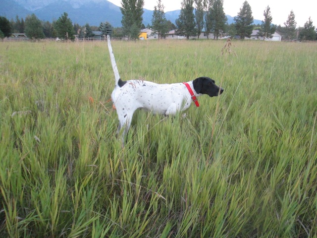 For Sale, Trained English Pointer Hunting Dog