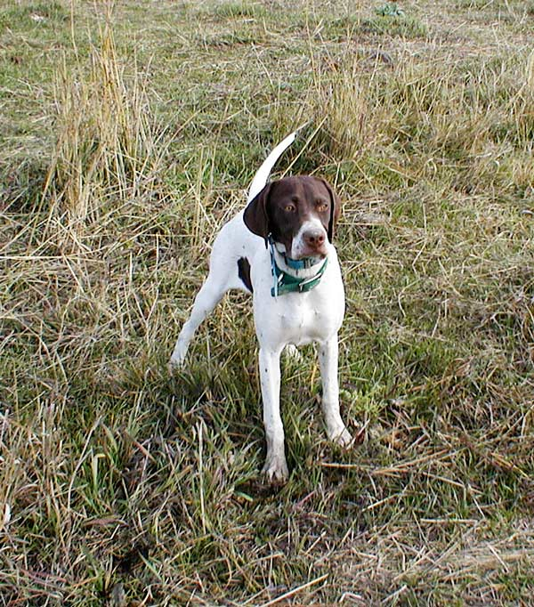 English Pointer in Training