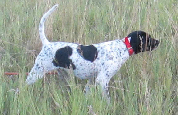 trained hunting dog