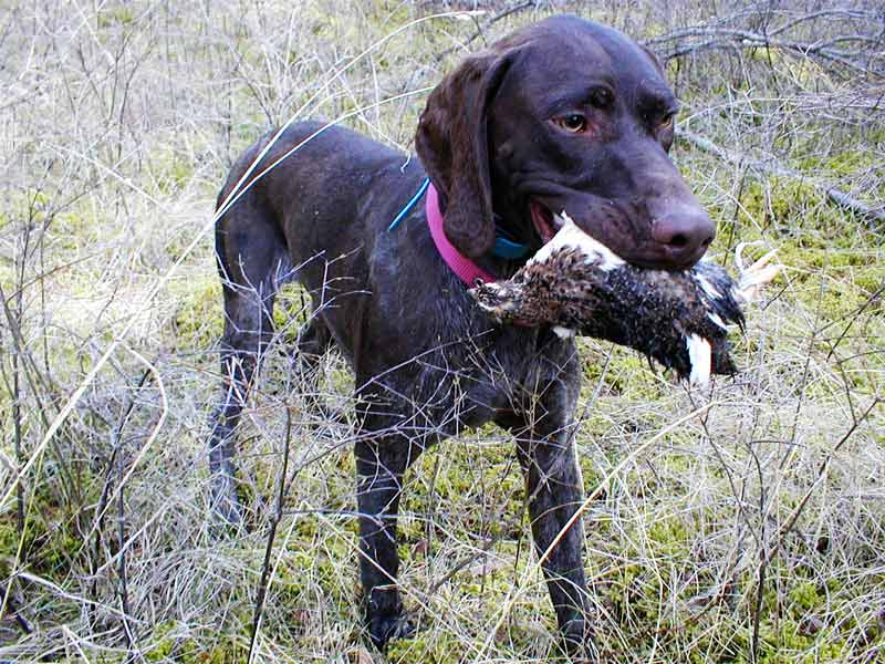 German Shorthaired Pointer with Quail