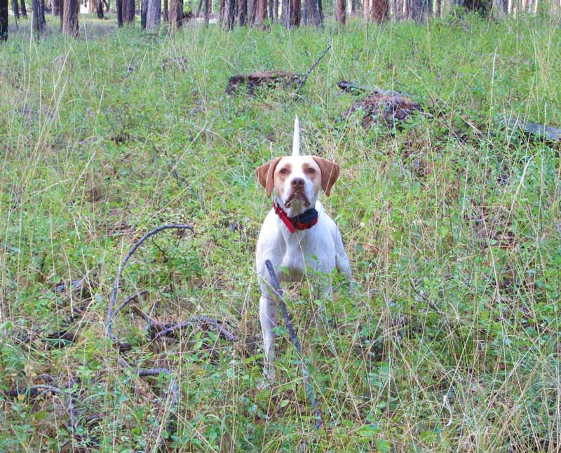 Trained English Pointer for Sale