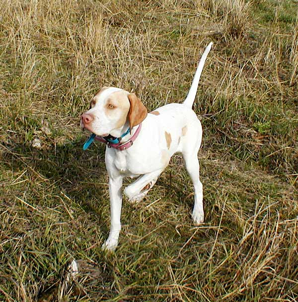 English Pointer Pup in the Field