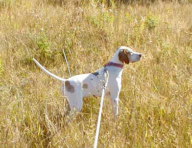 Male Pointer Pup