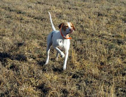 English Pointer Pup