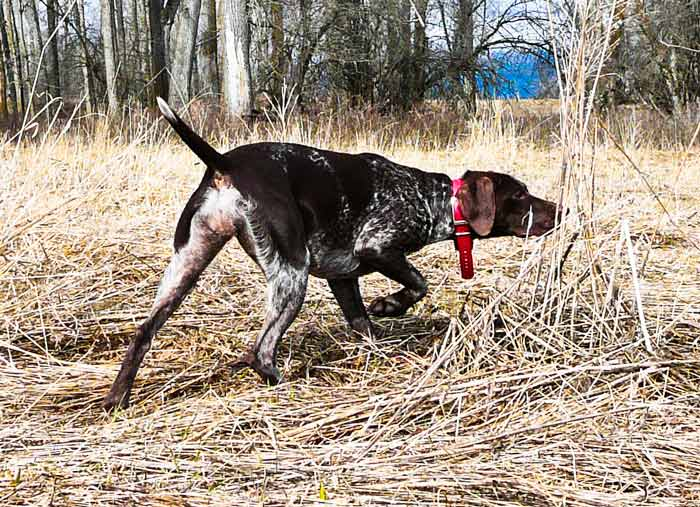 German Shorthair on Point