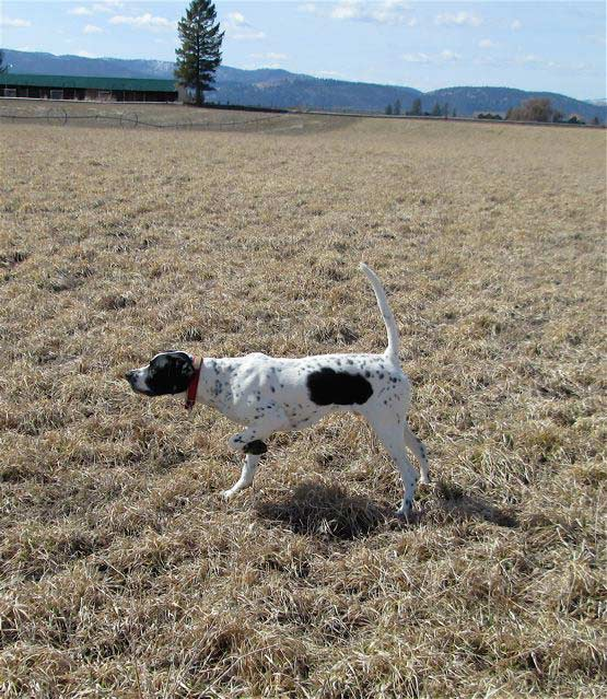 English Pointer Sire
