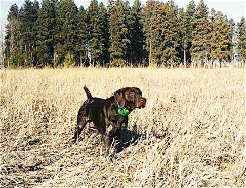 Field Trial German Shorthaired Pointer