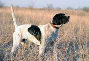 Champion English Pointer