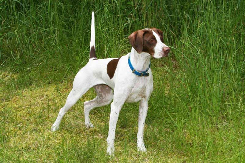 German Shorthaired Pointer, this year's High Points Dog