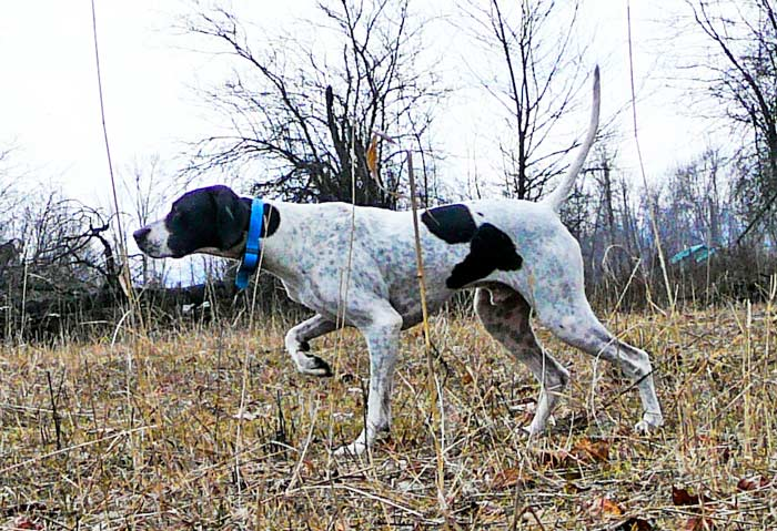 Trained English Pointer in the Field
