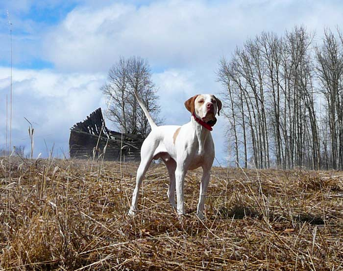 Trained English Pointer Puppy